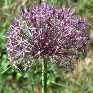 AlliumChristophii