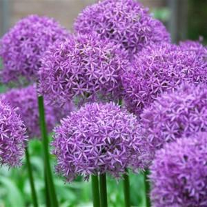 Allium_PurpleSensation_good