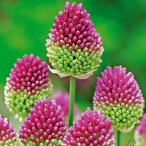 Allium_sphaerocephalon_BiCol
