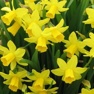 Daffodil_TeteATete