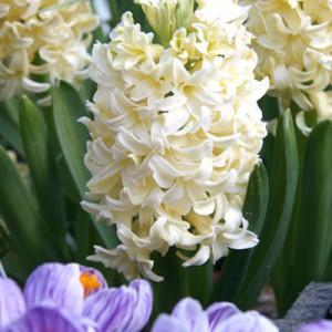 Hyacinth_Carnegie