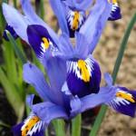 Iris_reticulata_Good