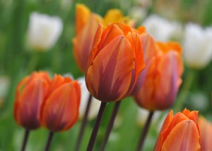 Tulip_PrincessIrene
